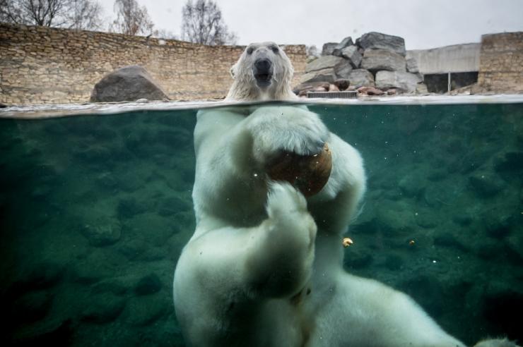 Jääkarupäeval võib Põhjamaa mõmmide paksu kasukat uurida