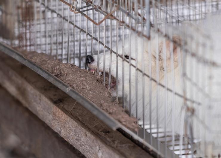 Loomakaitsjate ühisavaldus: karusloomafarmid on põhjamaades kaotanud demokraatliku toetuse ja majandusliku põhjendatuse