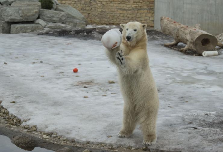 FOTOD JA VIDEO JÄÄKARUPÄEVALT! Aleksei Turovski: kõik karud on suured magusasõbrad