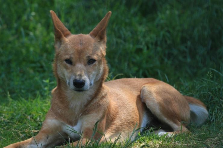 Austraalia teadlased: dingo ei ole koer