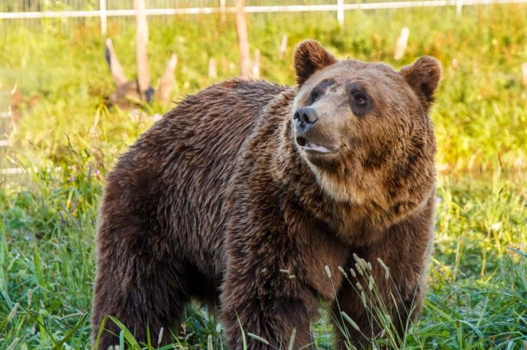 Saaremaa karu ärkas talveunest