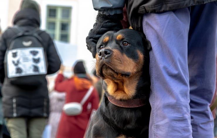 Õismäe rabas rihmata jalutavad koerad ründavad kitsi ja hirmutavad sportlasi