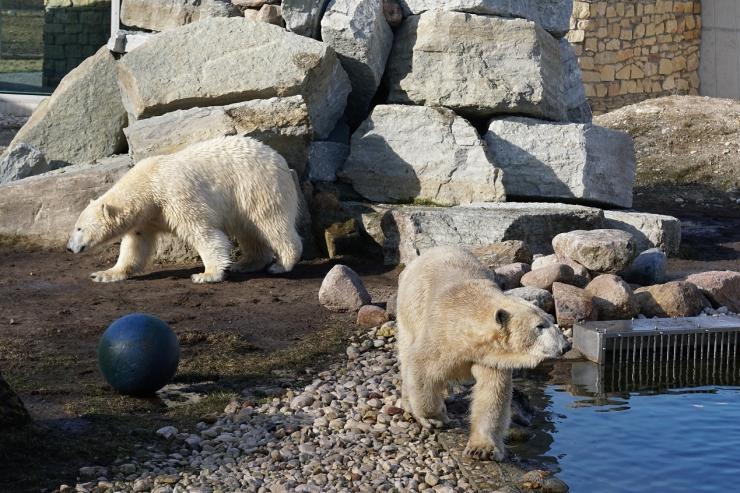 GALERII: Jääkarud Friida ja Aron lubati aedikut kaema