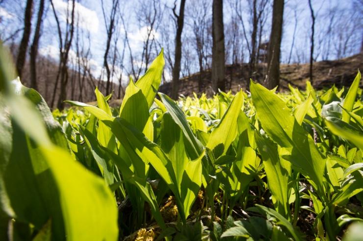 Terviseamet hoiatab: ettevaatust kevadiste taimede söömisel!