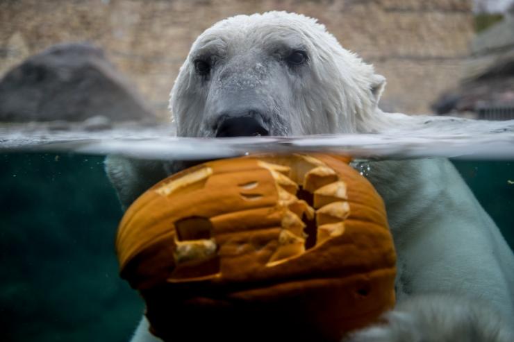 VIDEO! Miks loomaaed jääkarude ja lõvide toitu peidab?