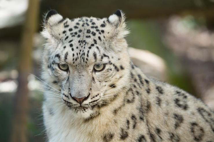 Mais võib jälgida pesukarude ja lumeleopardide toitmist