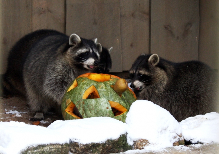 Maikuus saab loomaaias näha pesukarude ja lumeleopardi toitmist