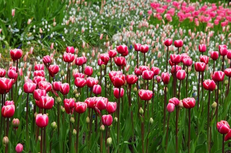 Tulbid ja teised kevadised lilled meelitavad Tallinna Botaanikaaeda