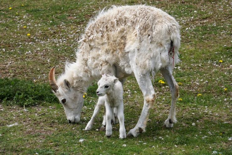 Dalli lumelammas sai poja emadepäeval