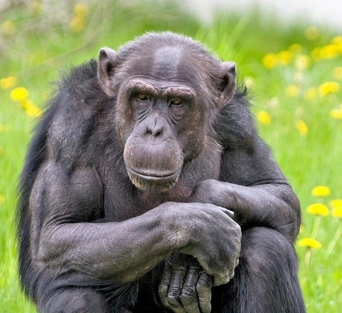 Suri Tallinna loomaaia šimpans Pino