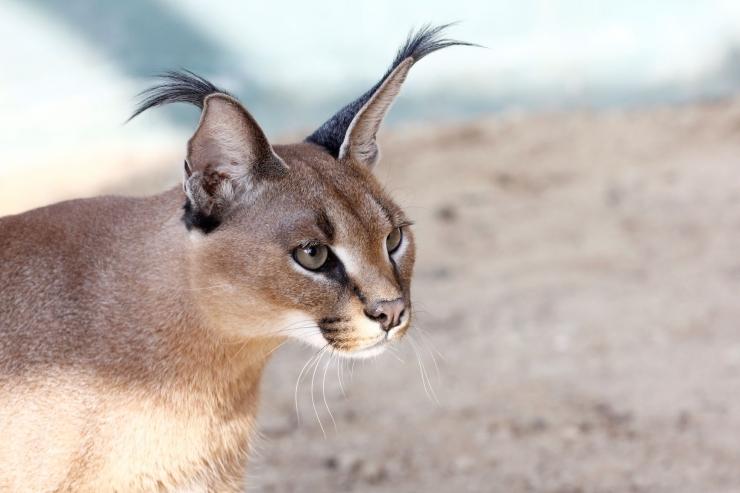 Loomaaias näeb karakali ja euroopa naaritsa kommenteeritud toitmisi