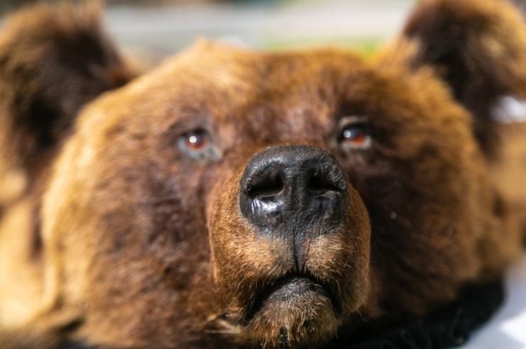 Keskkonnaagentuur jagab soovitusi hundi, karu ja koeraga trehvamisel