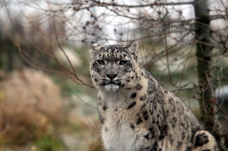 Sel nädalavahetusel korrastavad vabatahtlikud lumeleopardi aedikut alpinaariumis