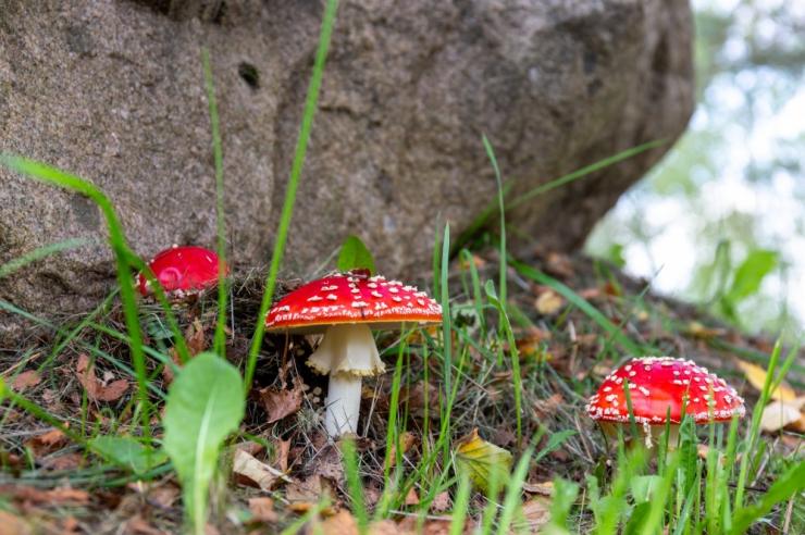 Terviseamet: tundmatud seened tasub korjajal metsa jätta