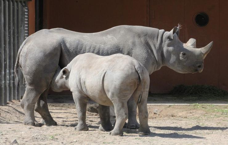 Täna tähistatakse loomaaias ninasarvikupäeva
