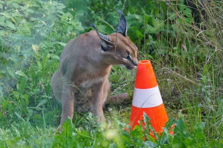 Loomaaias saab viimast korda näha karakali ja naaritsa toitmist