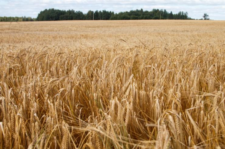 Tänavune teraviljasaak on kõigi aegade suurim