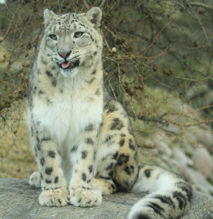 Tule irbisepäevale lumeleopardijutte kuulama!