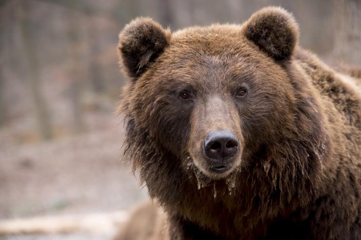 Eestis on lõppeval hooajal jäänud lasta veel kolm karu