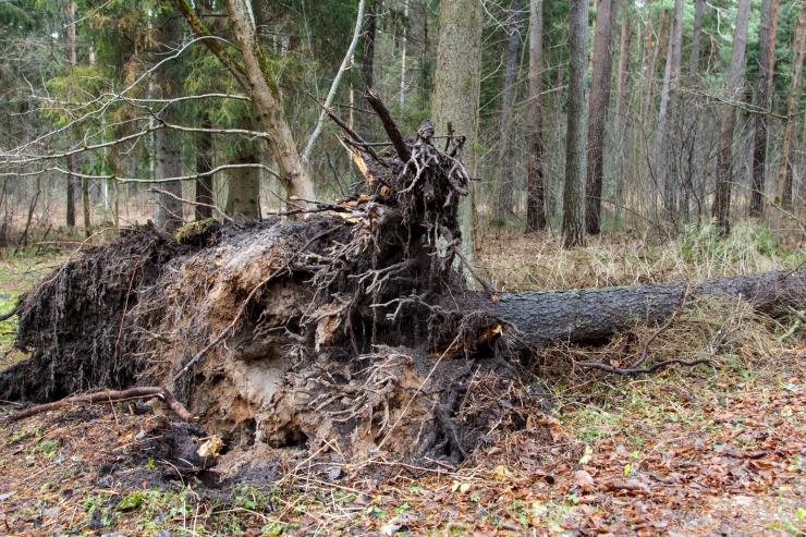 Tormikahjud Lõuna-Eesti metsades on tohutud