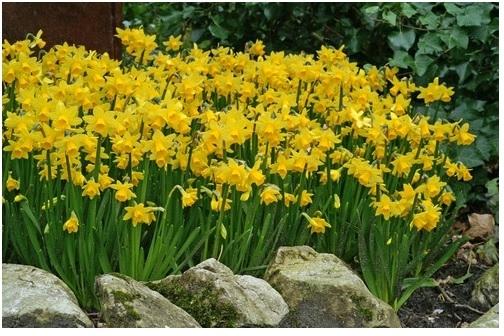 Kevadel õitsevad Kristiines tuhat väikest päikest