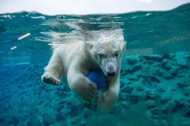 Jääkarud said oma basseinist püüda vikerforelli