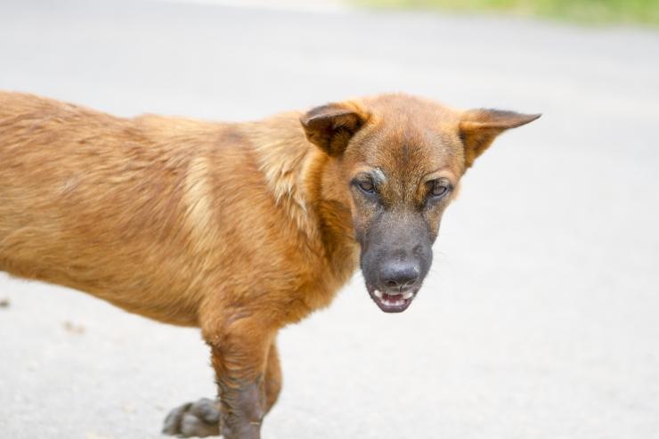 Ehmunud koer ründas välismaalasest toidukullerit
