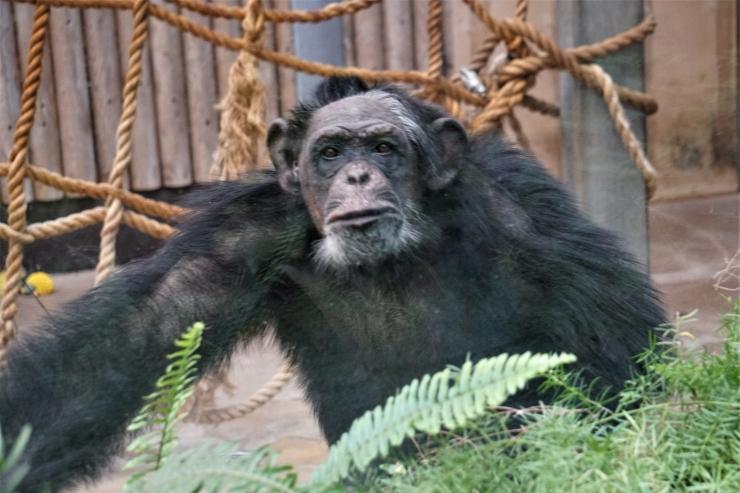 Šimpansid Betty ja Quincy teevad taas kunsti