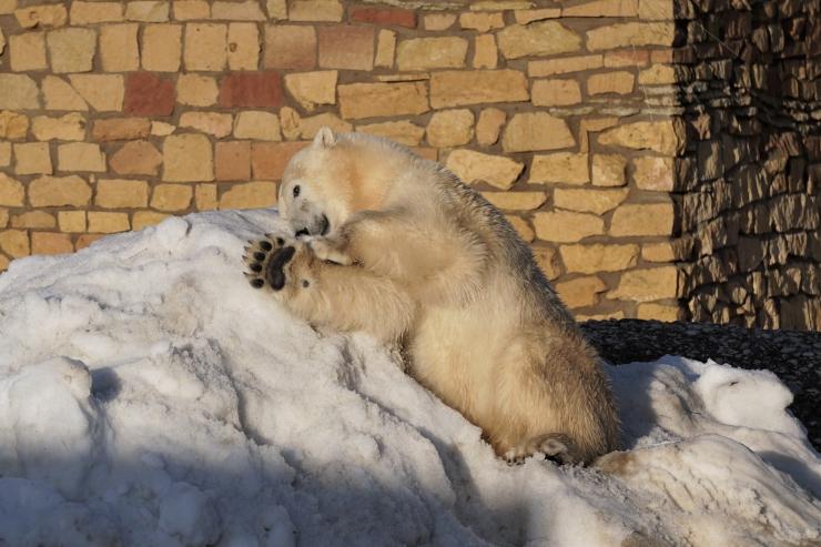 VIDEO! Jääkarudele viidi loomaaeda kõrged lumehunnikud