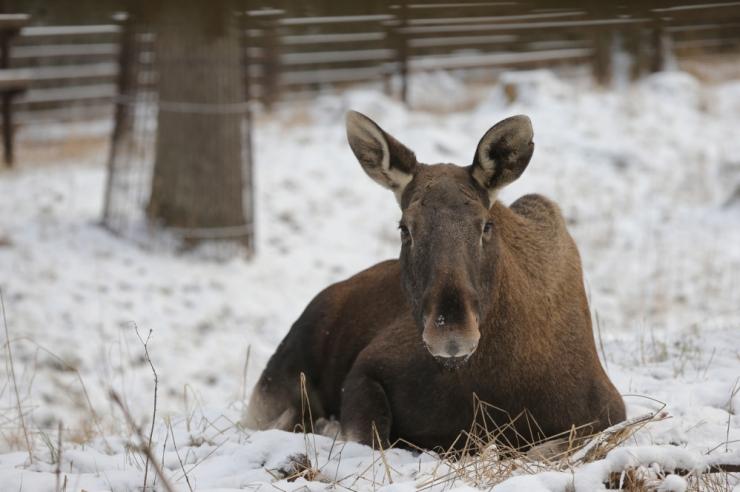 Spetsialistid: soe talv on soodne metsloomade järelkasvule kui ka viljasaagile