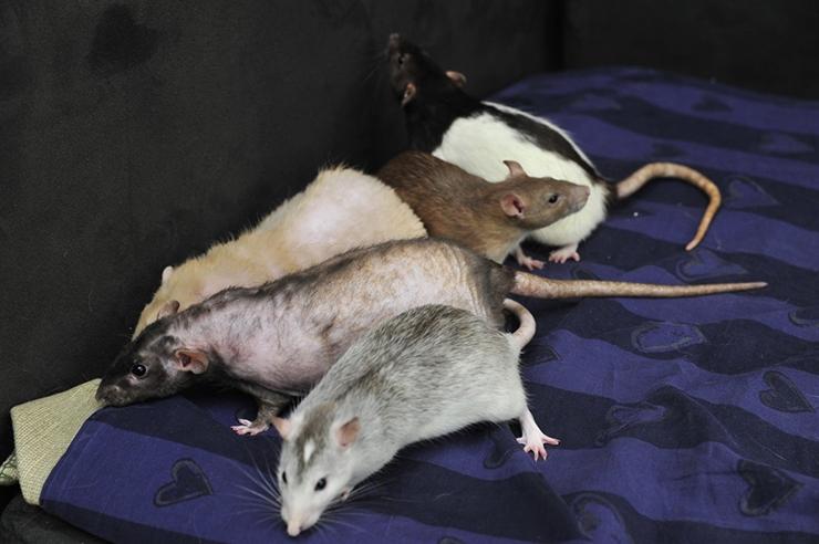 KAHJURITE TÕRJUJA: Aina visamad rotid ainult naeravad mürkide peale