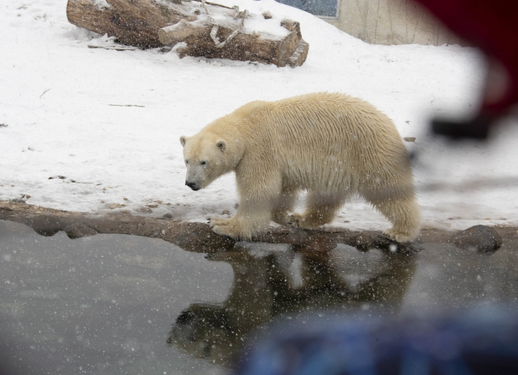 VIDEO JA FOTOD! Tallinna loomaaed kutsus talvisel koolivaheajal jääkarupäevale