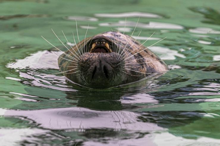 FOTOD! Märtsikuu laupäevadel tutvustab loomaaed hülgeid ja ninasarvikuid