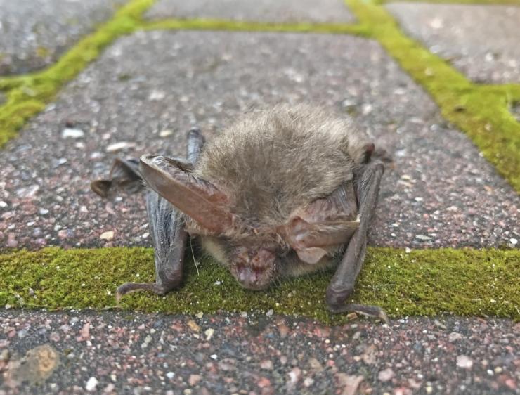 Ministeerium: nahkhiired ei ole koroonaepideemias süüdi