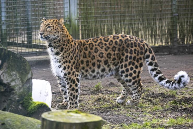 Külasta videosilla vahendusel amuuri leopardit ja Eesti suurima kivikülvi saladusi