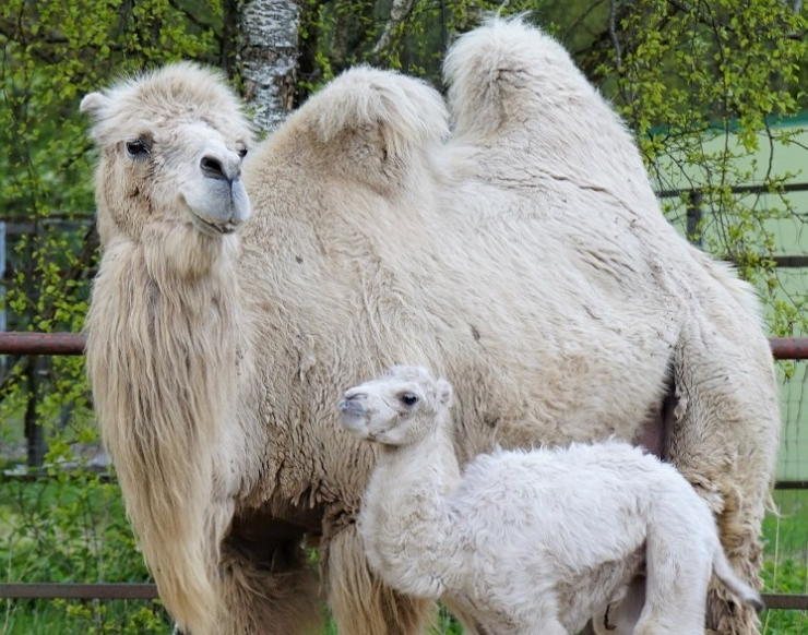 Kaks kaamelit said järjest poisslaste emaks