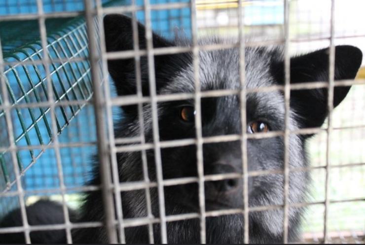 Maaelukomisjon arutab täna karusloomafarmide keelustamist