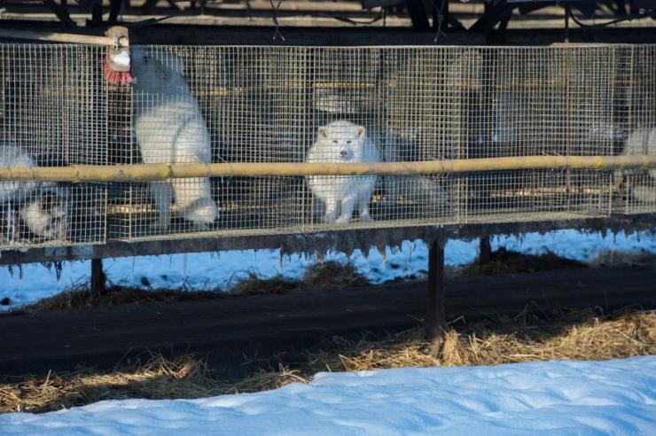 Loomus tervitab karusloomafarme lõpetava eelnõu algatamist