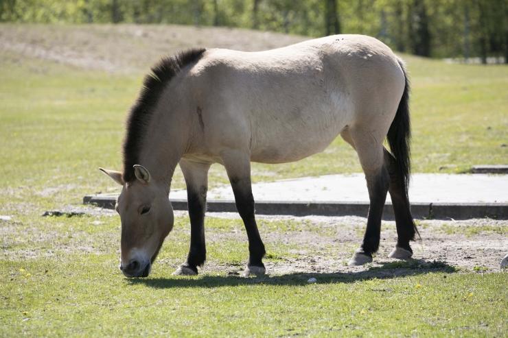 FOTOD! Loomaaia vanim prževalski hobune nimega Podkova sai 30-aastaseks
