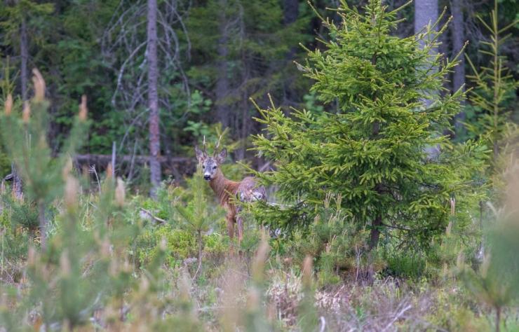 Looma- ja looduskaitsjad algatasid petitsiooni metskitsede vibujahi legaliseerimise vastu
