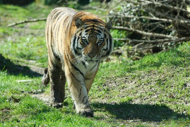 Tallinna loomaaia amuuri tiiger Pootsman sai taas kolme kutsika isaks