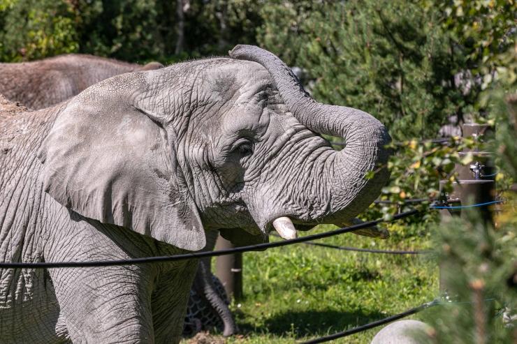GALERII JA VIDEO! Loomaaias mängisid elevandid lõbusat pallimängu