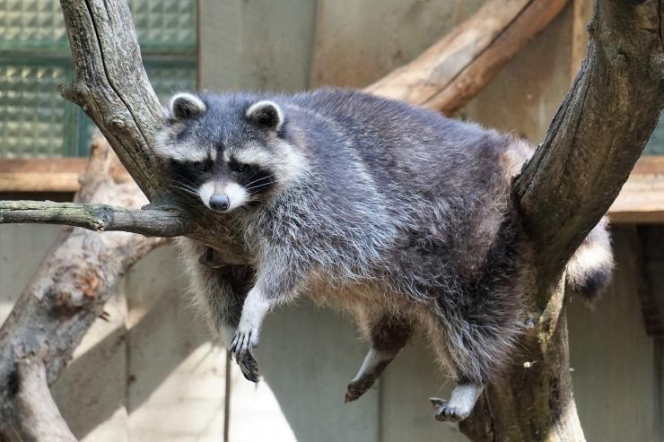 Septembrikuu laupäevadel tutvustab loomaaed okassigu ja pesukarusid