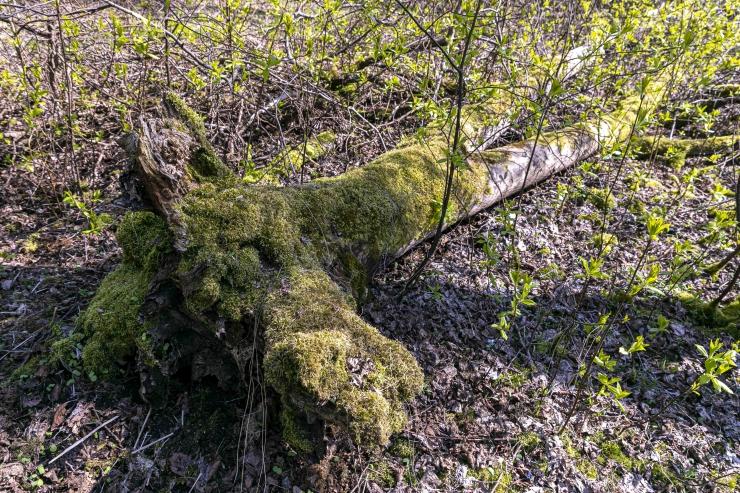 Kaspar Kurve: lageraiete lõpetamine ei lõpeta kaugeltki metsamajandust