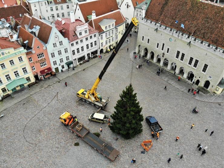 VIDEO JA GALERII! Jõulupuu jõudis Tallinna Raekoja platsile